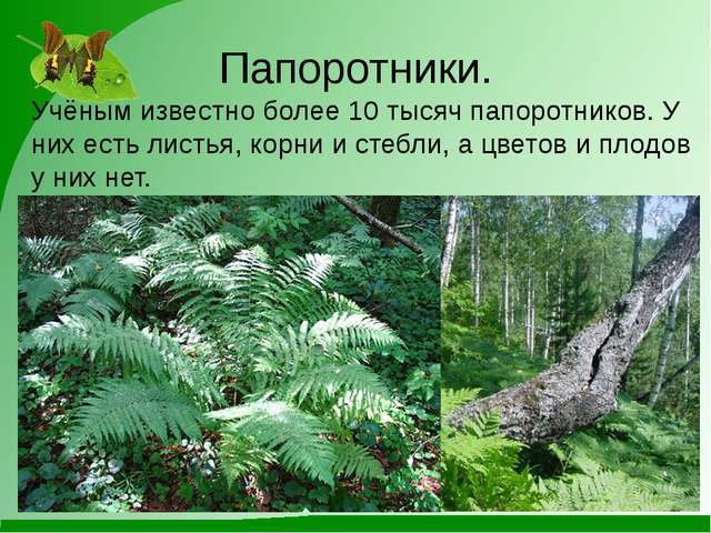 Папоротники. Учёным известно более 10 тысяч папоротников. У них есть листья,...