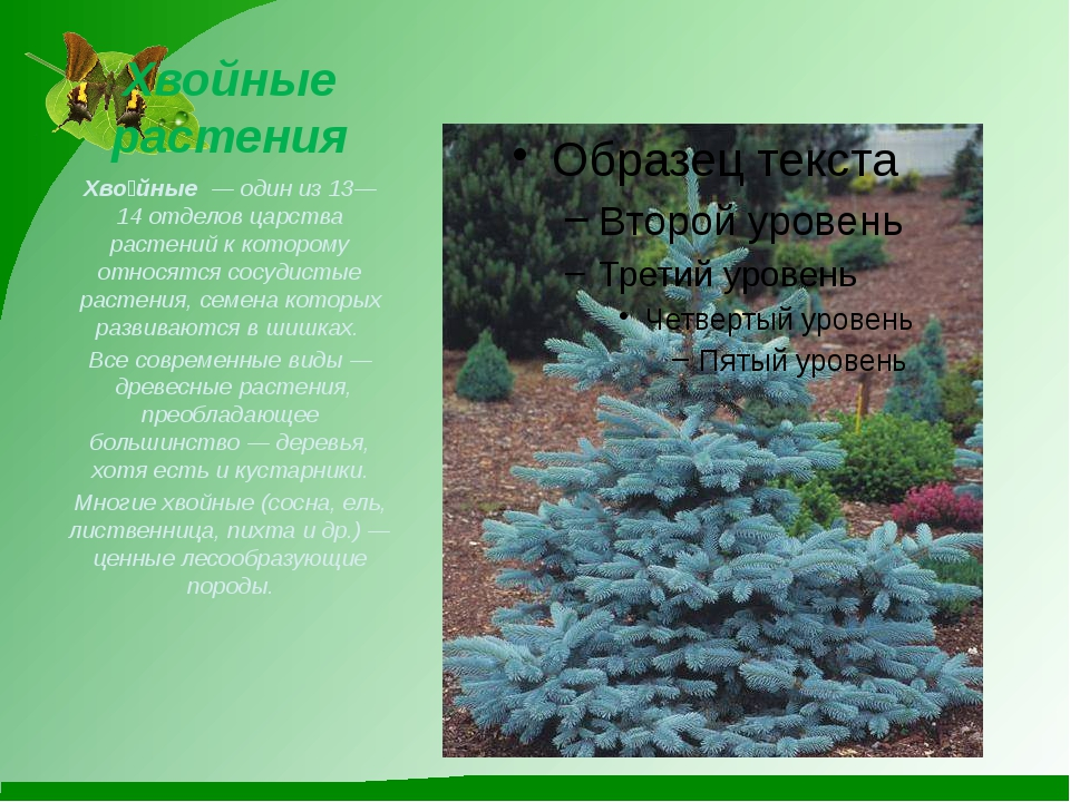 Хвойные растения Хво́йные— один из 13—14отделов царства растений к котором...