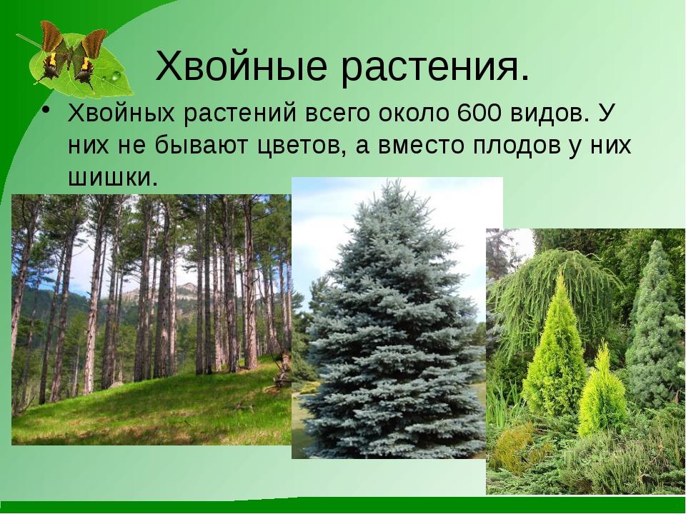 Хвойные растения. Хвойных растений всего около 600 видов. У них не бывают цве...