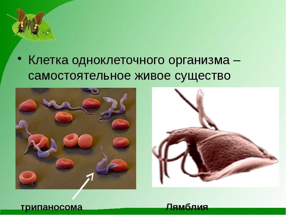 Клетка одноклеточного организма – самостоятельное живое существо трипаносома...