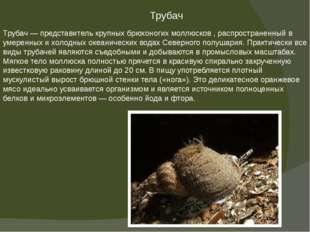 Трубач — представитель крупных брюхоногих моллюсков , распространенный в умер