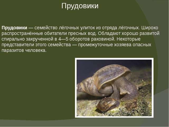 Прудовики— семействолёгочных улитокиз отрядалёгочных.Широко распространё...
