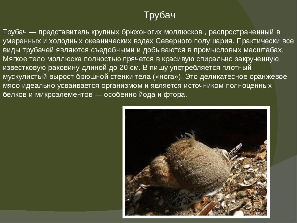 Трубач — представитель крупных брюхоногих моллюсков , распространенный в умер...