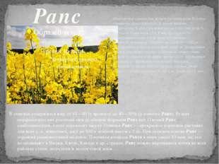 Рапс Однолетнее озимое или яровое растение рода Brassica семейства крестоцвет