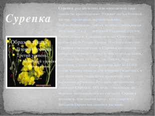 Сурепка род двулетних или многолетних трав семейства крестоцветных. Нижние ли