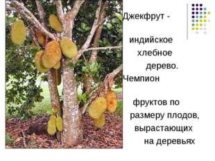 Джекфрут - индийское хлебное дерево. Чемпион фруктов по размеру плодов, выра