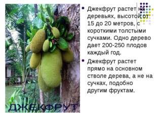 . Джекфрут растет на деревьях, высотой от 15 до 20 метров, с короткими толсты