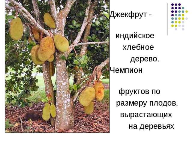 Джекфрут - индийское хлебное дерево. Чемпион фруктов по размеру плодов, выра...