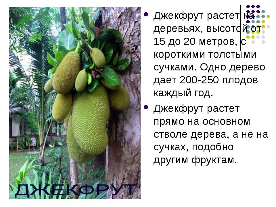 . Джекфрут растет на деревьях, высотой от 15 до 20 метров, с короткими толсты...
