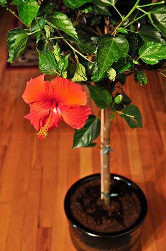 http://flowers.cveti-sadi.ru/files/2010/06/Hibiscusrosasinensis6.jpg