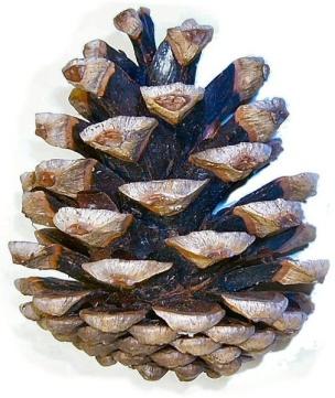 Pinus_nigra_cone