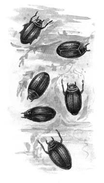 Жуки-вертячки