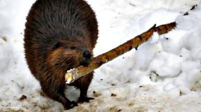 beaver-butt.jpg