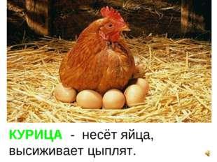 КУРИЦА - несёт яйца, высиживает цыплят.