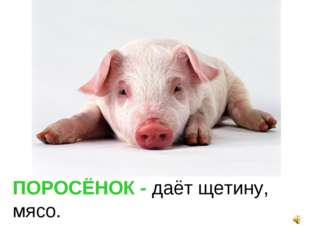 ПОРОСЁНОК - даёт щетину, мясо.