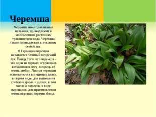 Черемша Черемша имеет различные названия, принадлежит к многолетним растениям