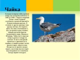 Чайка Большая полярная чайка крупная птица, вес которой колеблется от 1400 до