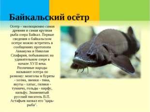 Байкальский осётр Осетр - эволюционно самая древняя и самая крупная рыба озер