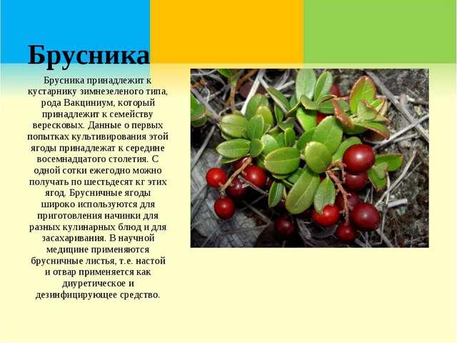 Брусника Брусника принадлежит к кустарнику зимнезеленого типа, рода Вакциниум...