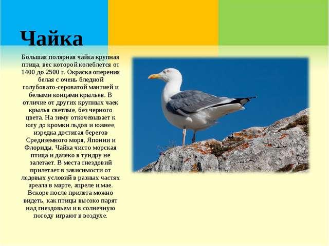 Чайка Большая полярная чайка крупная птица, вес которой колеблется от 1400 до...