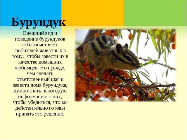 Бурундук Внешний вид и поведение бурундуков соблазняет всех любителей животны...