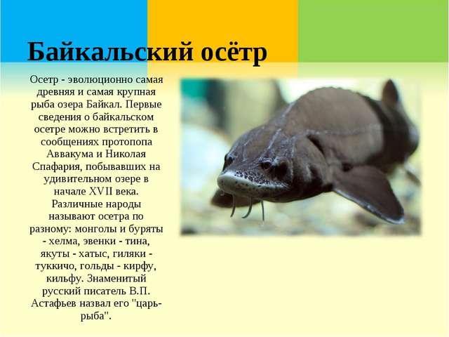 Байкальский осётр Осетр - эволюционно самая древняя и самая крупная рыба озер...