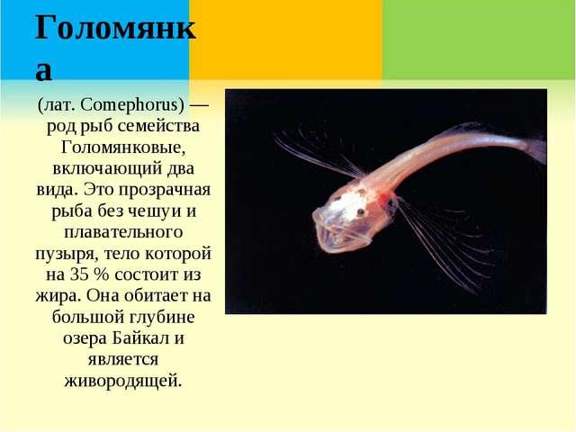 Голомянка (лат. Comephorus) — род рыб семейства Голомянковые, включающий два...