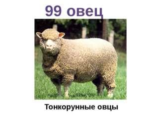 99 овец Тонкорунные овцы
