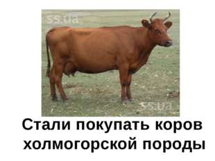 Стали покупать коров холмогорской породы
