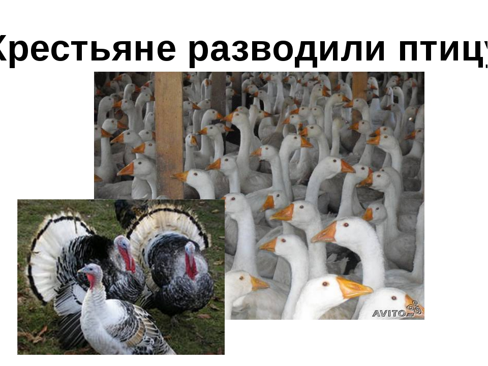 Крестьяне разводили птицу: