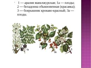 1 — аралия маньчжурская; 1а — плоды; 2 — беладонна обыкновенная (красавка);