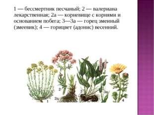 1 — бессмертник песчаный; 2 — валериана лекарственная; 2а — корневище с ко