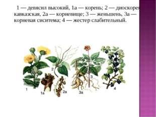 1 — девясил высокий, 1а — корень; 2 — диоскорея кавказская, 2а — корневи