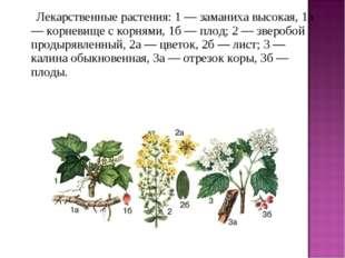 Лекарственные растения: 1 — заманиха высокая, 1а — корневище с корнями,