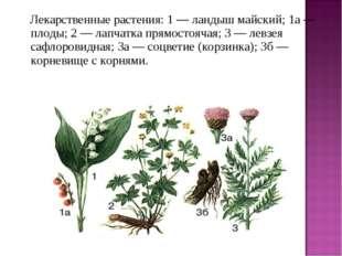 Лекарственные растения: 1 — ландыш майский; 1а — плоды; 2 — лапчатка прямо