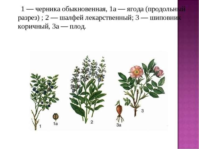 1 — черника обыкновенная, 1а — ягода (продольный разрез) ; 2 — шалфей ле...