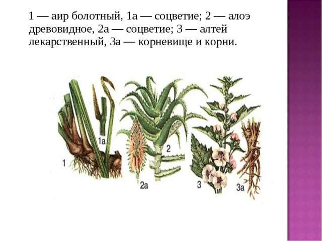 1 — аир болотный, 1а — соцветие; 2 — алоэ древовидное, 2а — соцветие; 3 —...