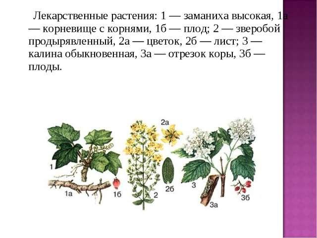 Лекарственные растения: 1 — заманиха высокая, 1а — корневище с корнями,...