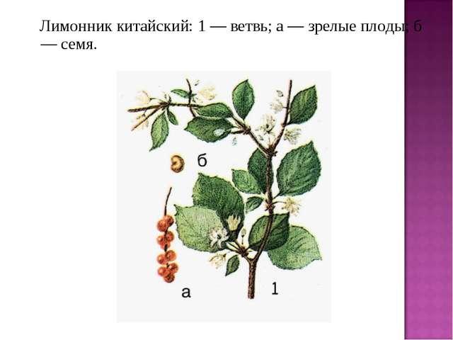 Лимонник китайский: 1 — ветвь; а — зрелые плоды; б — семя.
