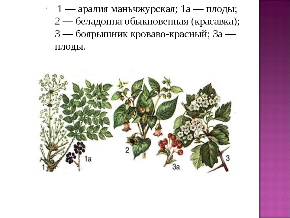 1 — аралия маньчжурская; 1а — плоды; 2 — беладонна обыкновенная (красавка);...