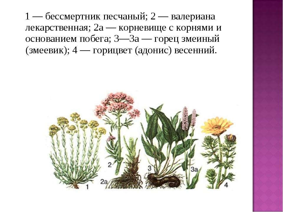 1 — бессмертник песчаный; 2 — валериана лекарственная; 2а — корневище с ко...