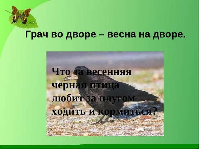 Грач во дворе – весна на дворе. Что за весенняя черная птица любит за плугом...