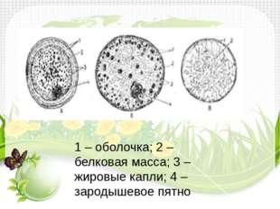 1 – оболочка; 2 – белковая масса; 3 – жировые капли; 4 – зародышевое пятно