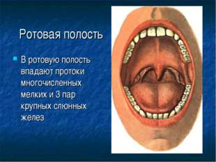 Ротовая полость В ротовую полость впадают протоки многочисленных мелких и 3 п
