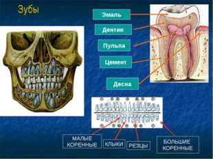 Зубы Эмаль Дентин Пульпа Цемент Десна РЕЗЦЫ КЛЫКИ МАЛЫЕ КОРЕННЫЕ БОЛЬШИЕ КОРЕ