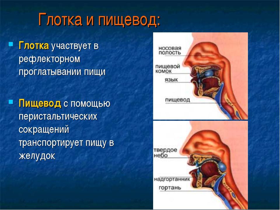 Глотка и пищевод: Глотка участвует в рефлекторном проглатывании пищи Пищевод...