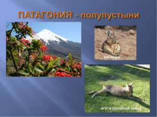вискаша агути (золотой заяц)