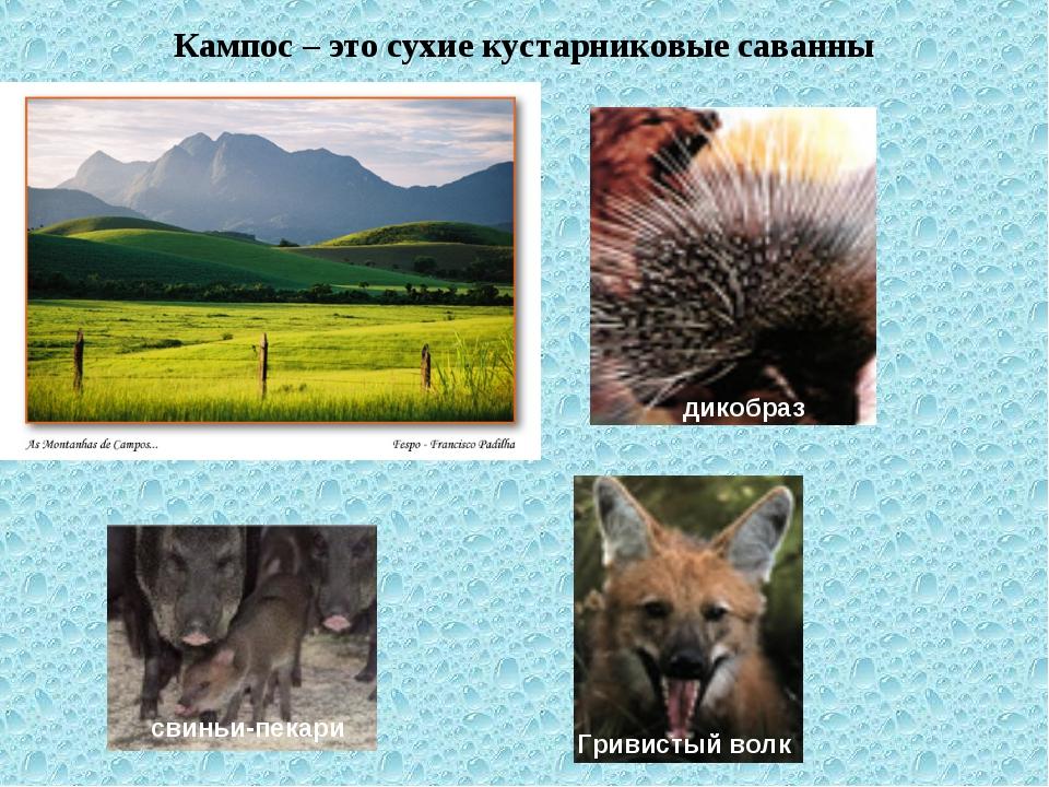 Кампос – это сухие кустарниковые саванны Гривистый волк свиньи-пекари дикобраз