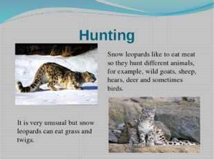Hunting Snow leopards like to eat meat so they hunt different animals, for ex