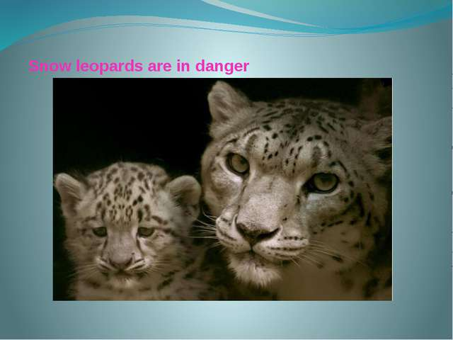 Snow leopards are in danger